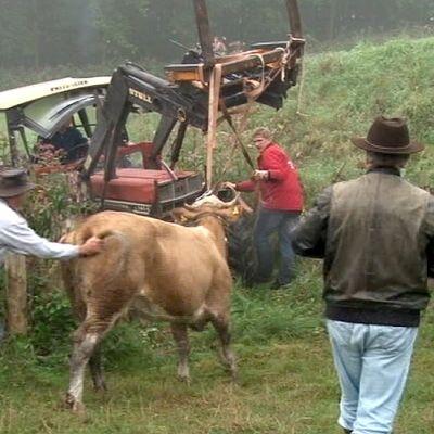 Yvonne-lehmää talutetaan takaisin laitumelle.
