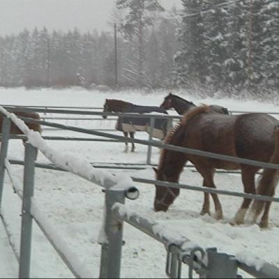 Relanderin ponitallin hevoset tarhoissaan