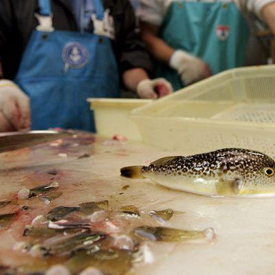 Japanilaiskokkeja valmistamassa fugu-pallokalaa.