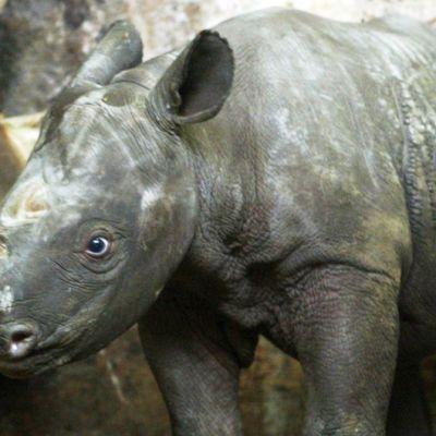 Mustasarvikuonon poikanen äitinsä vieressä Magdeburgilaisessa eläintarhassa Saksassa vuonna 2005. Euroopassa ei kyseisenä vuonna syntynyt muita poikasia.