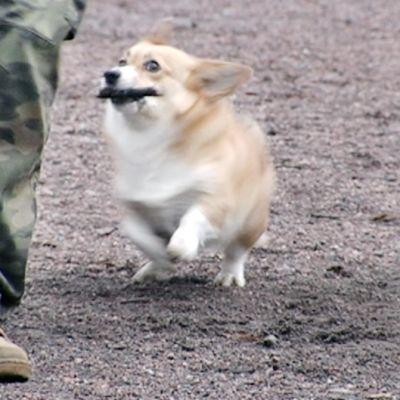 Koira juoksee keppi suussaan.