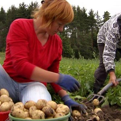 Kaksi naista nostaa perunaa perinteisin menetelmin.