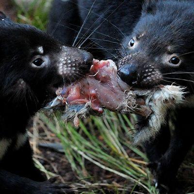14-kuukautiset Tasmanian tuholaisen poikaset kiistelevät ruokapalasta.