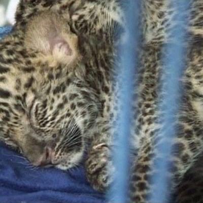 Salakuljettajilta takavarikoitu leopardinpoikanen nukkuu häkissään.