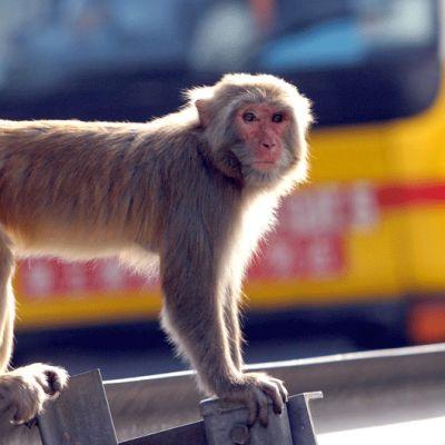 Makaki-apina katselee liikennettä Hong Kongissa.