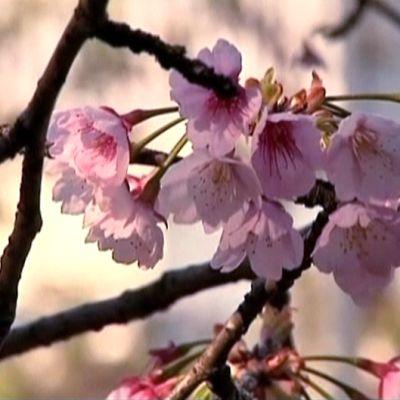 Kirsikkapuut kukkivat.