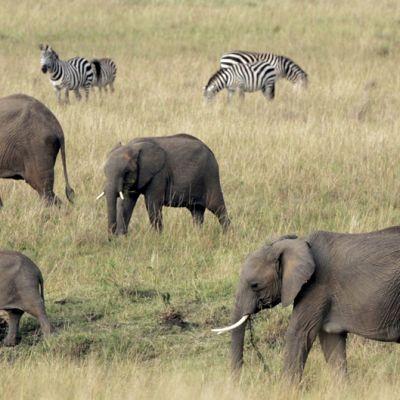 Savanninorsuperhe aterioi Masai Marassa Keniassa.