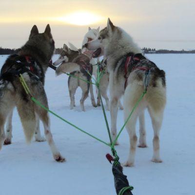 Kahdeksan koiran huskyvaljakko jäällä
