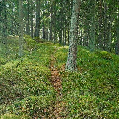 Polku vanhassa metsässä.