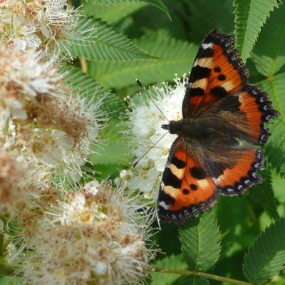 Nokkosperhonen kukassa