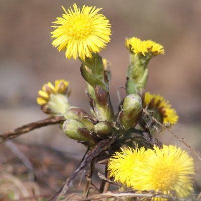 Leskenlehti kukkii