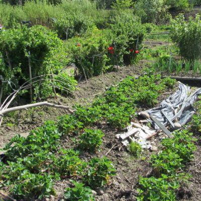 Vihreitä kasveja aarimaalla.