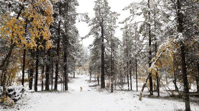Snölandskap i Enontekis, en hund går i skog.