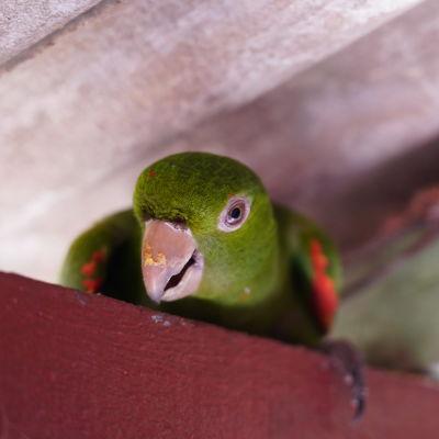 Amazonin sademetsä, papukaija