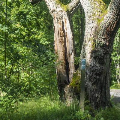 En väldigt gammal och stor ek på en solig sommardag i en skogsmiljö.