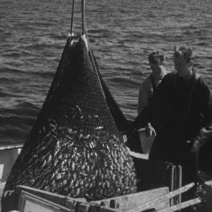 Kalastajat nostavat silakkaa merestä.