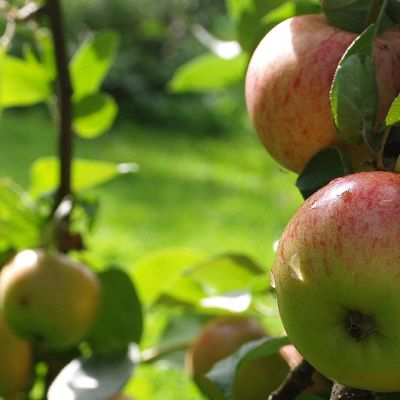 Omenoita puussa