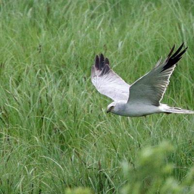 Arosuohaukka on harvinainen laji, jonka ainoa varmasti tunnettu pesimäpaikka on Siikajoella.