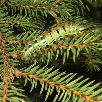 Kuusenkarvajalan toukka