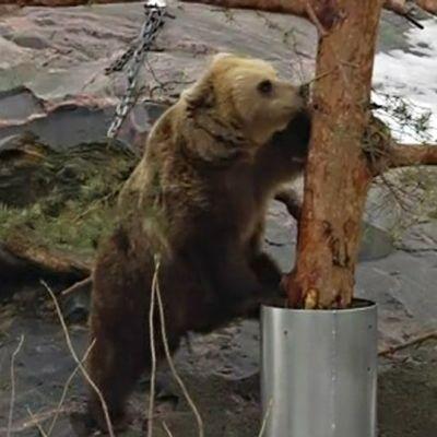 Korkeasaaren karhut heräsivät talviunestaan.