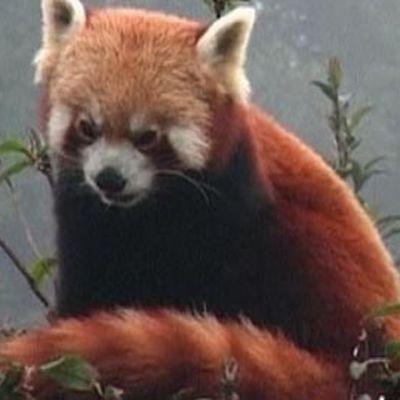 Kattbjörn eller röd panda