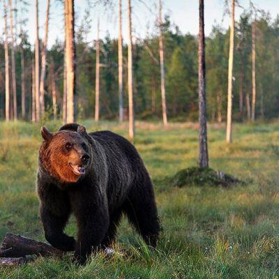 Björn i skogen.
