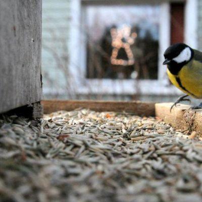 Talitintti istuu lintulaudalla.