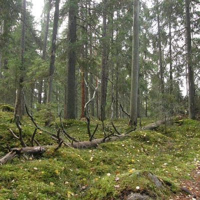 Liesjärven kansallispuiston vanhaa metsää Tammelassa.