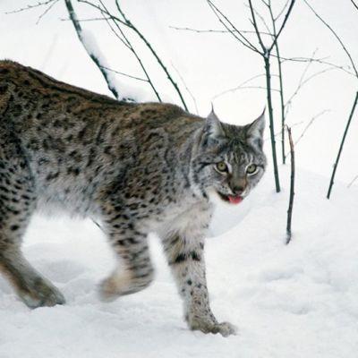 Ilves Ranuan eläinpuistossa. Viime vuonna (2012) Suomen ilveskannaksi arvioitiin noin 2430–2630 yksilöä.