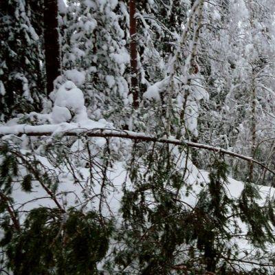 Lumi painaa puiden latvoja.