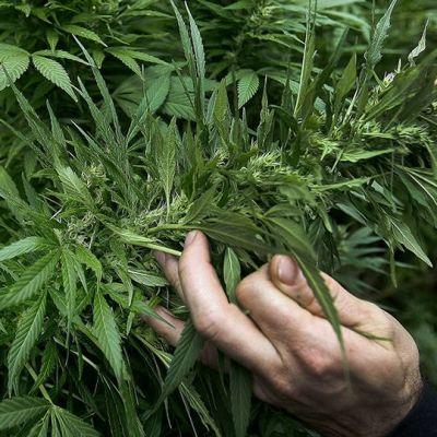 Kannabis-kasvi