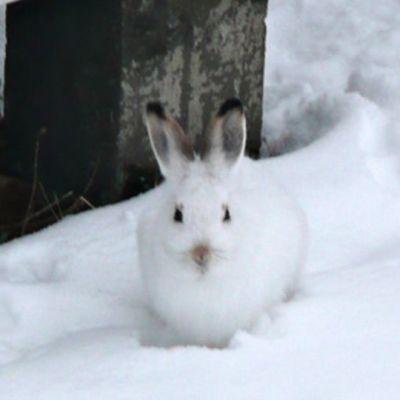 Talviturkkinen metsäjänis.