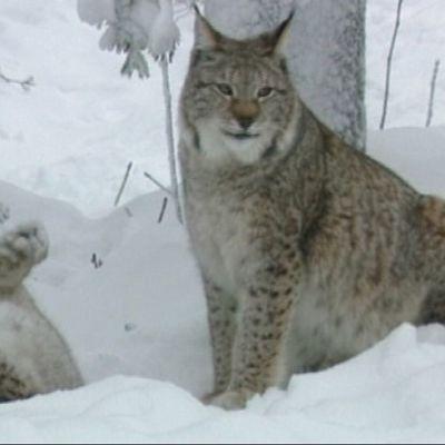 Kaksi ilvestä lumisessa metsässä.