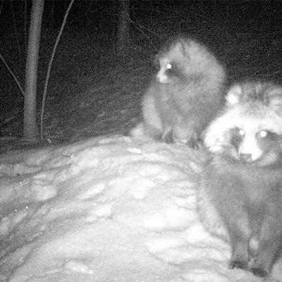 Supikoirat istuvat yöllä pesän läheisyydessä.