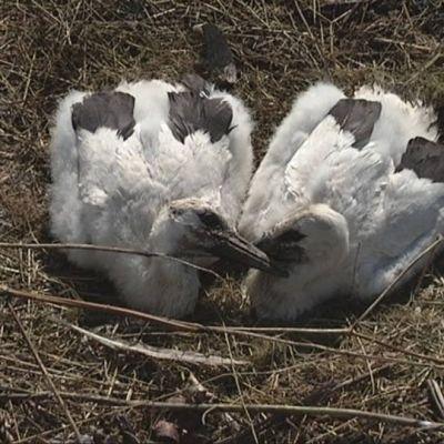 Kattohaikaranpoikaset pesässään