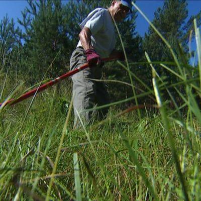 Talkoolainen niittää heinää viikatteella.