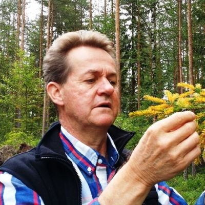 Taisto Jaakola tutkii keltaiseksi muuttunutta kuusen uutta kasvustoa.