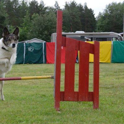 Kuvassa koira hyppää esteen yli