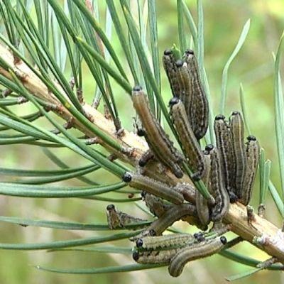 Ruskomäntypistiäisiä kuvattuna mynämäkeläisessä metsässä.