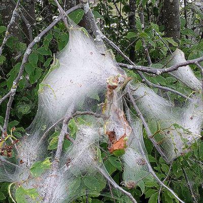 Tuomenkehrääjäkoin puihin tekemää verkkoa Kemin Meripuistokadulla.