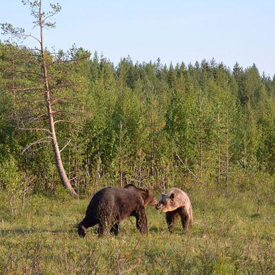 Kaksi karhua nuuskii toisiaan metsän reunalla.