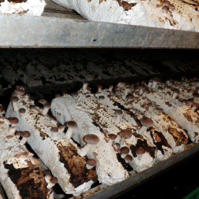 Shiitake-sienikasvustoa.