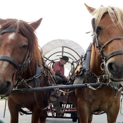 Kaksi hevosta vankkureita vetämässä