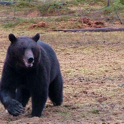 Iso karhu tepastelee soisella metsäaukealla.