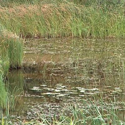 Lievestuoreenjärven rehevöitynyt lahti