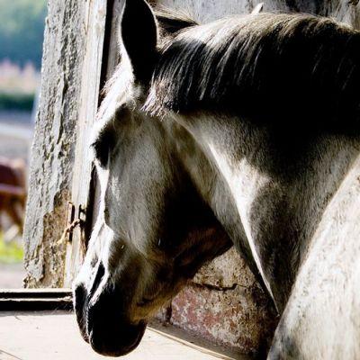 Hevonen tallissa.