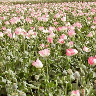 oopiumiunikkopelto.