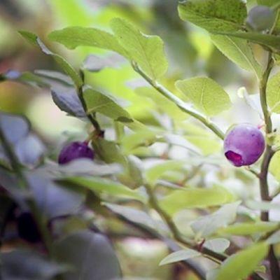 Mustikan raakileita metsässä.