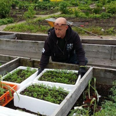Kuvassa puutarhuri Ari Vainionpää nostaa styroksilaatikkoa, jossa on esikasvatettuja porkkanantaimia.
