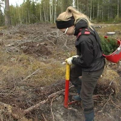 Metsänistutusta